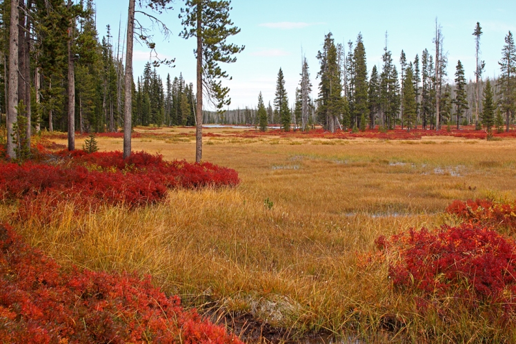Vaccinium_autumn_colors,_Yellowstone,_Lewis_River_1